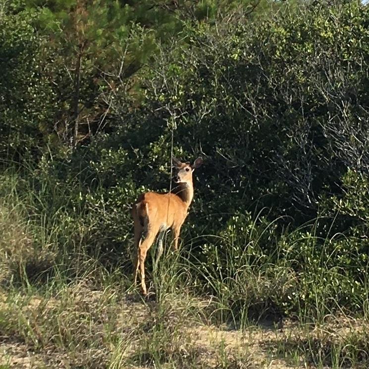 deer closeup frisco campground.